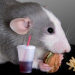 Rat eating fast food