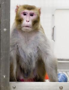 Kанто, 26 лет, ограниченный рацион. Хотя средняя продолжительность жизни лабораторных макак-резусов не превышает 27 лет, престарелый Канто выглядит моложе своего возраста. У него приличный мех, эластичная кожу, хорошая осанка, он уверенно передвигается. Его анализ крови соответствует его внешнему виду.