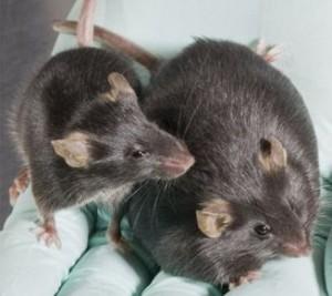 Левая крыса принимала лептин. Правая - контрольная группа.