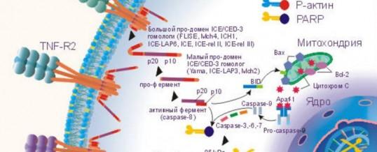 Теория апоптоза (самоубийства клеток)